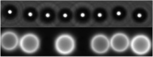Chain of magnetic colloids (top, bright field). An actin network (bottom, fluorescent image) has grown from the colloids that have been covered by the activator of Arp2/3 machinery. Magnetic field is horizontal. Bead diameter is 4.4 µm.